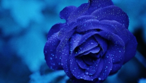 Blue Rose For Desktop