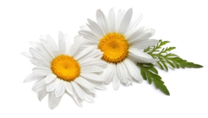 Chamomile Background