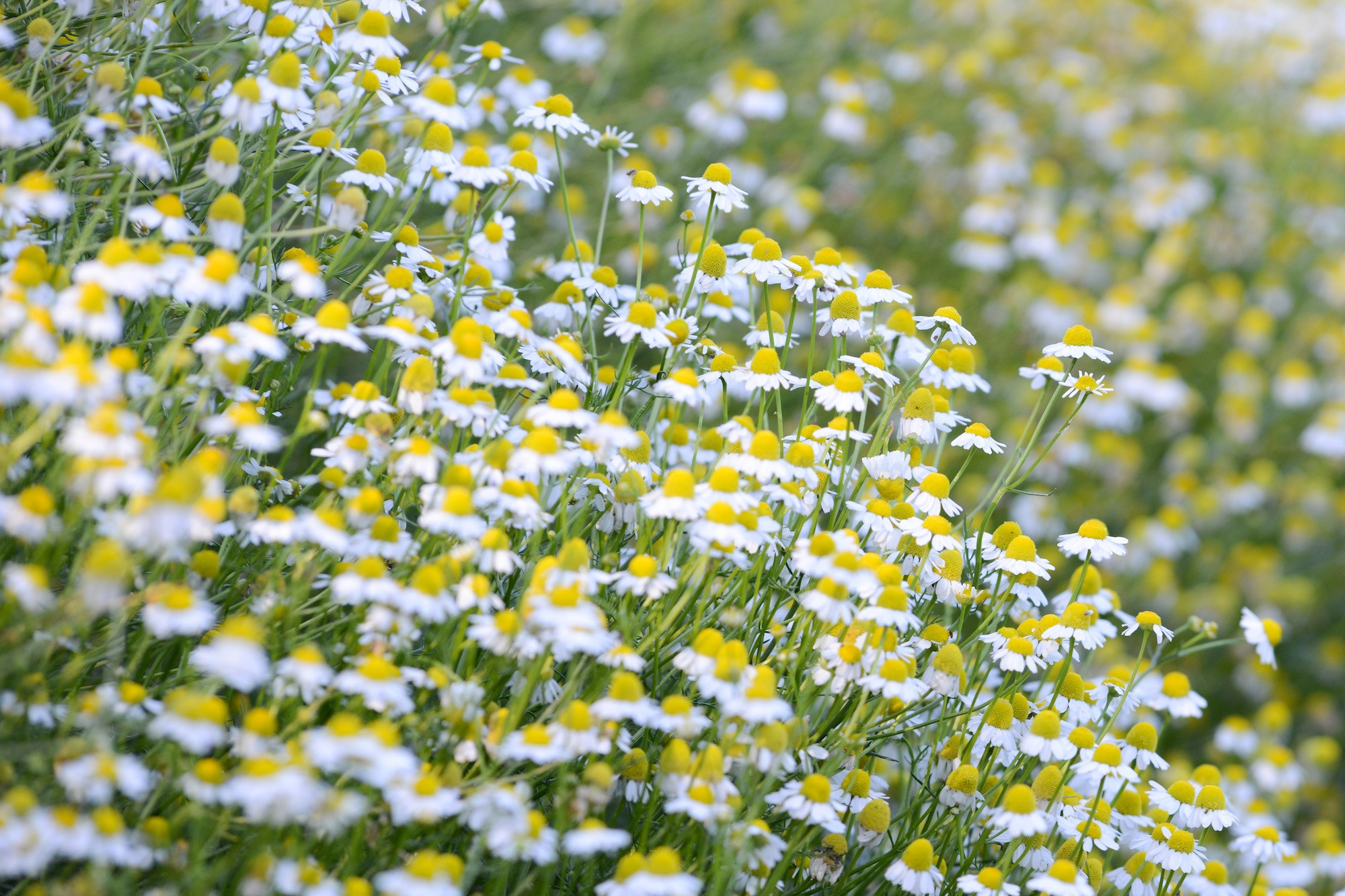Chamomile Desktop Wallpaper