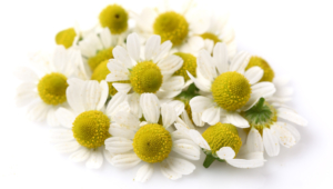 Chamomile Hd Background