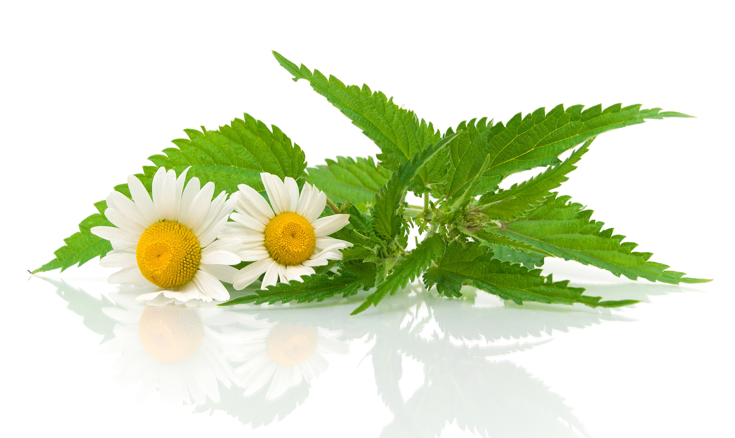 Chamomile Hd Wallpaper