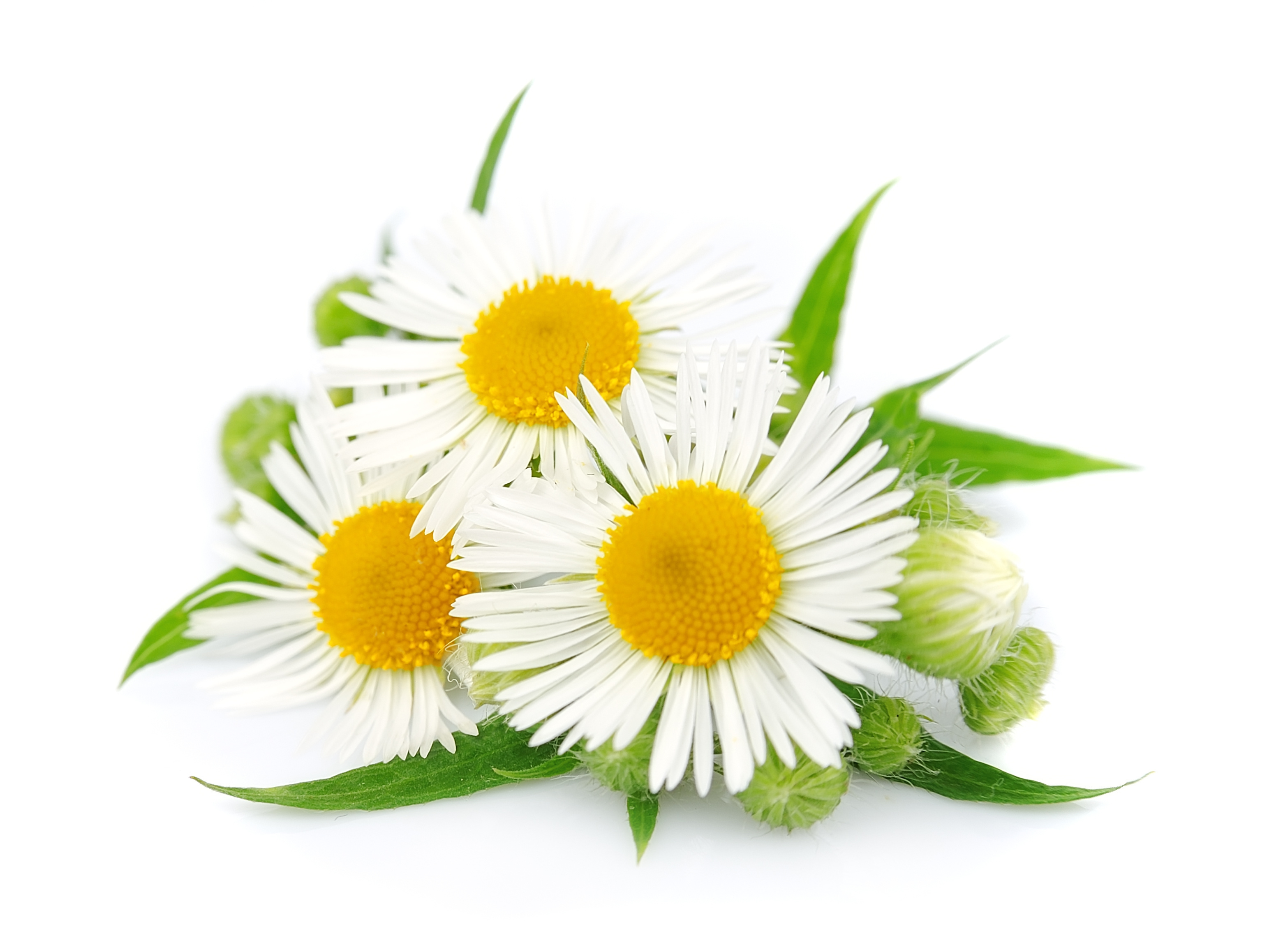 Chamomile High Definition Wallpapers