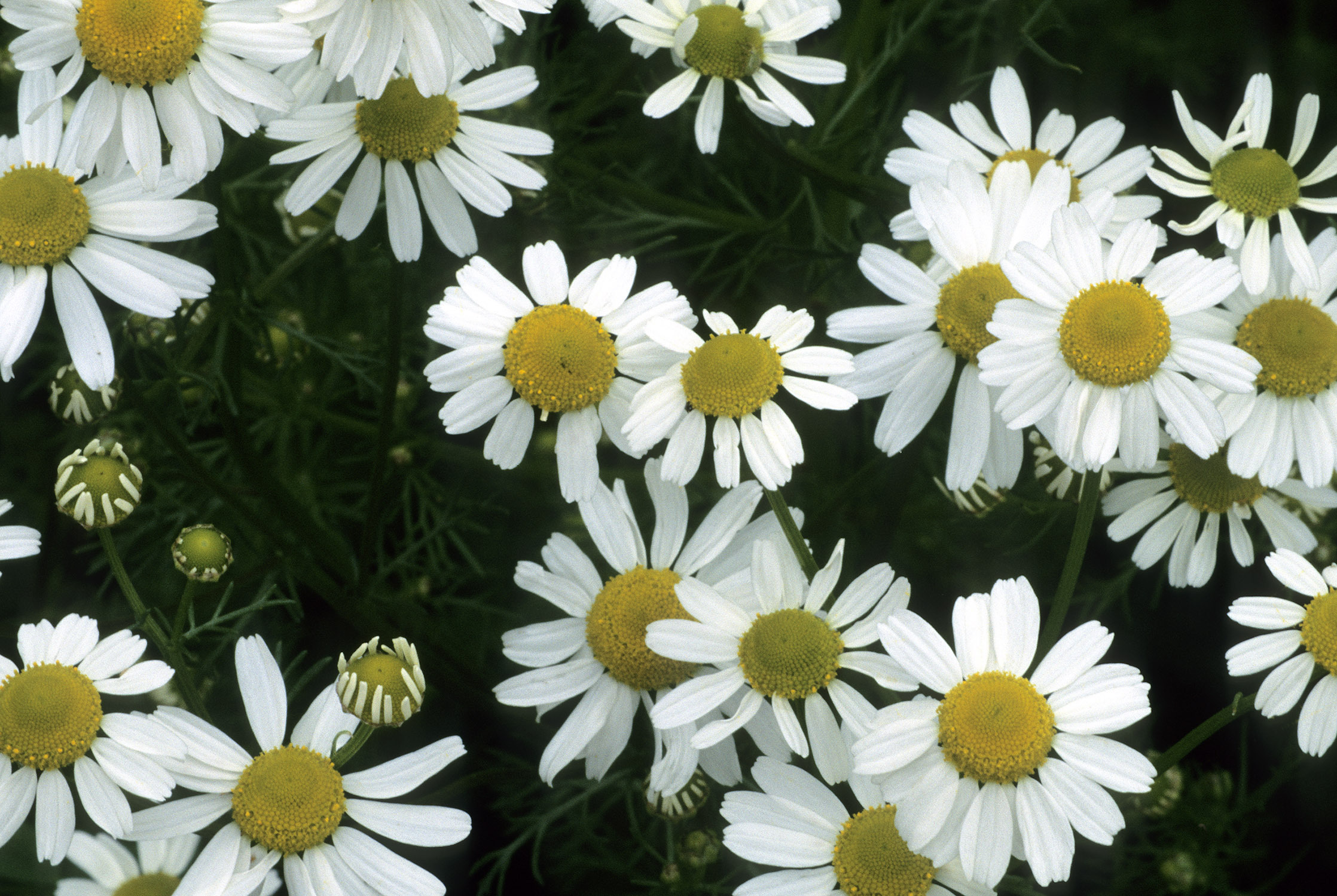 Chamomile High Definition