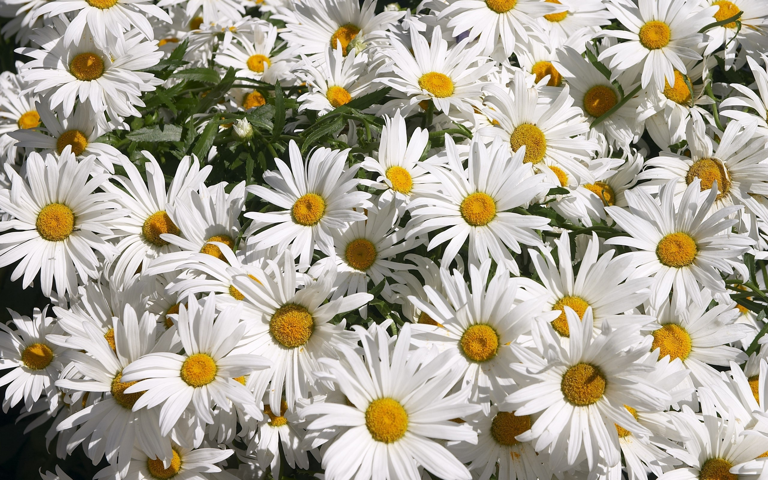 Chamomile Photos