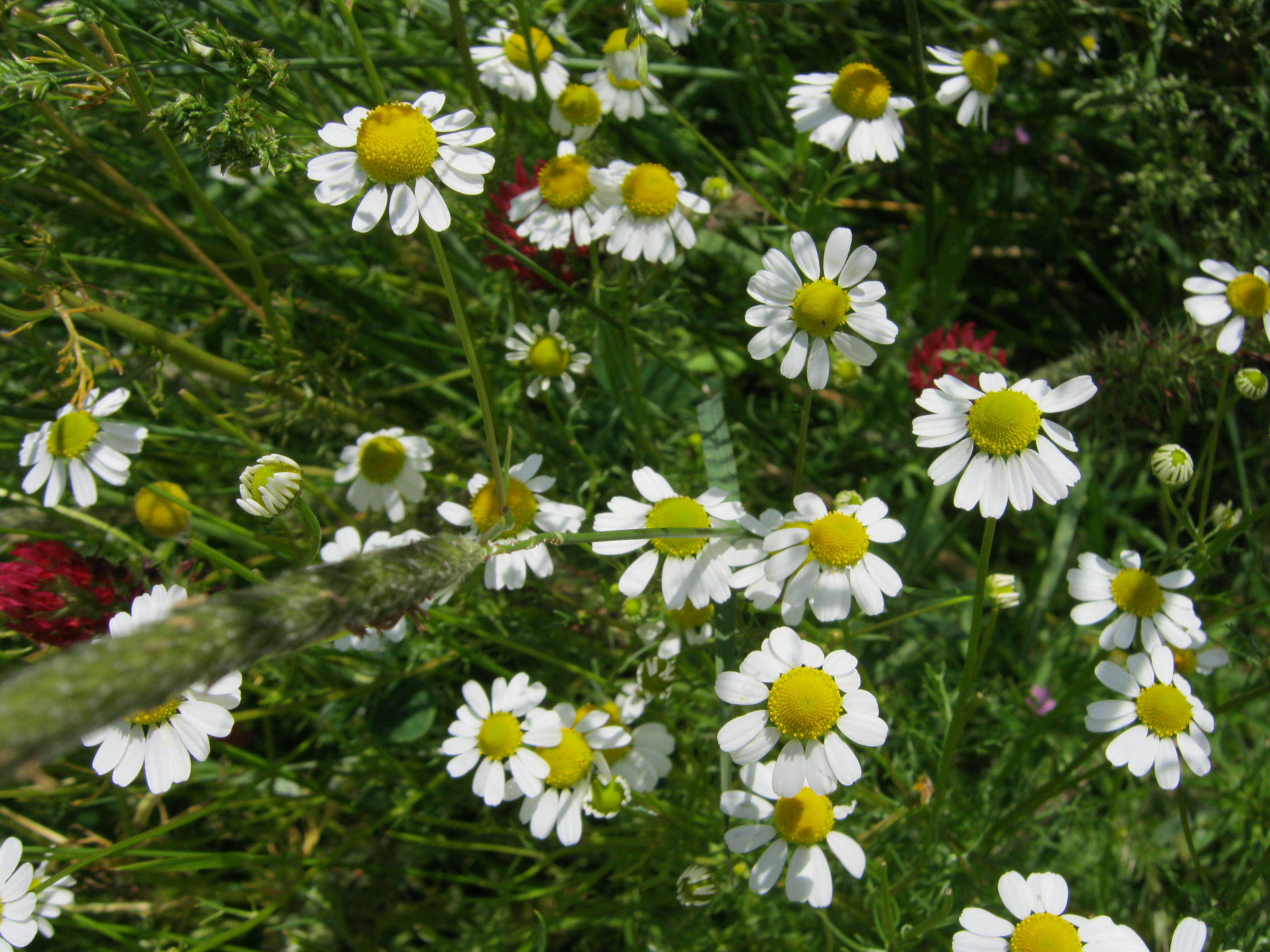 Chamomile Wallpaper For Computer