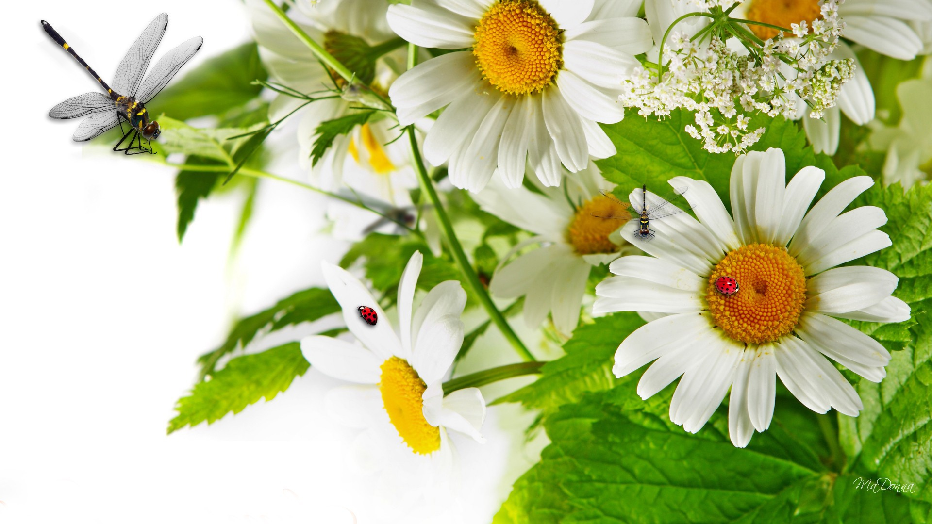 Chamomile Wallpapers Hd