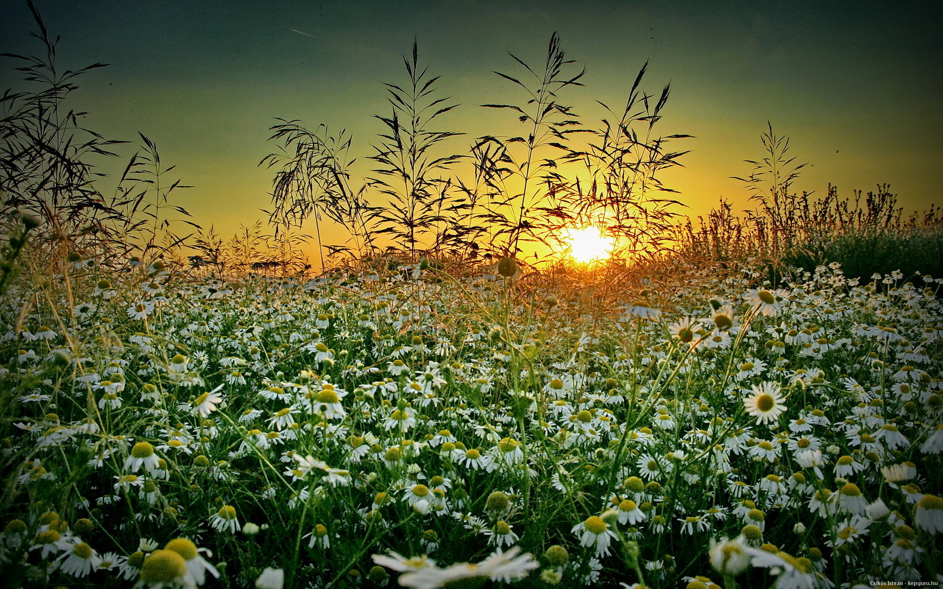 Chamomile Wallpapers And Backgrounds