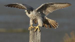 Falcon Hd