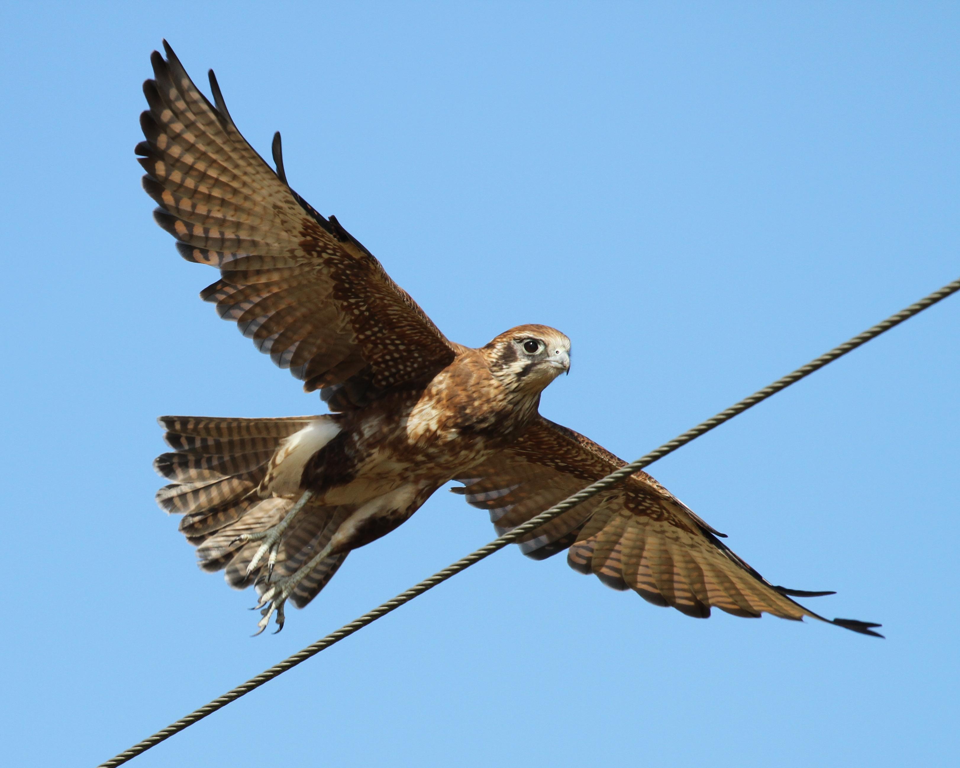 Falcon Hd Background