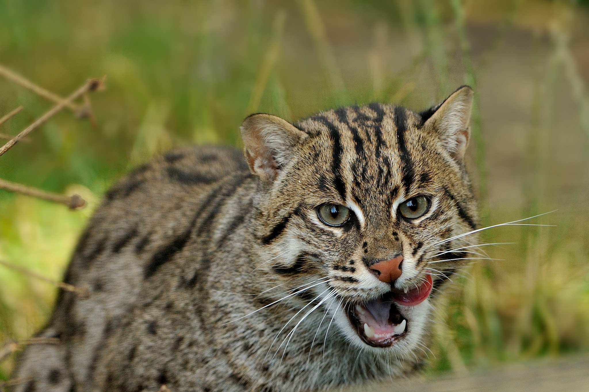 Fishing Cat 4k