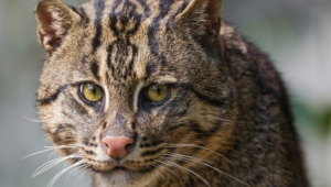 Fishing Cat Computer Backgrounds