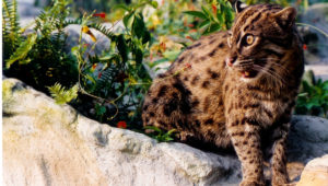 Fishing Cat Computer Wallpaper
