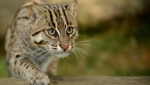 Fishing Cat Hd Wallpaper