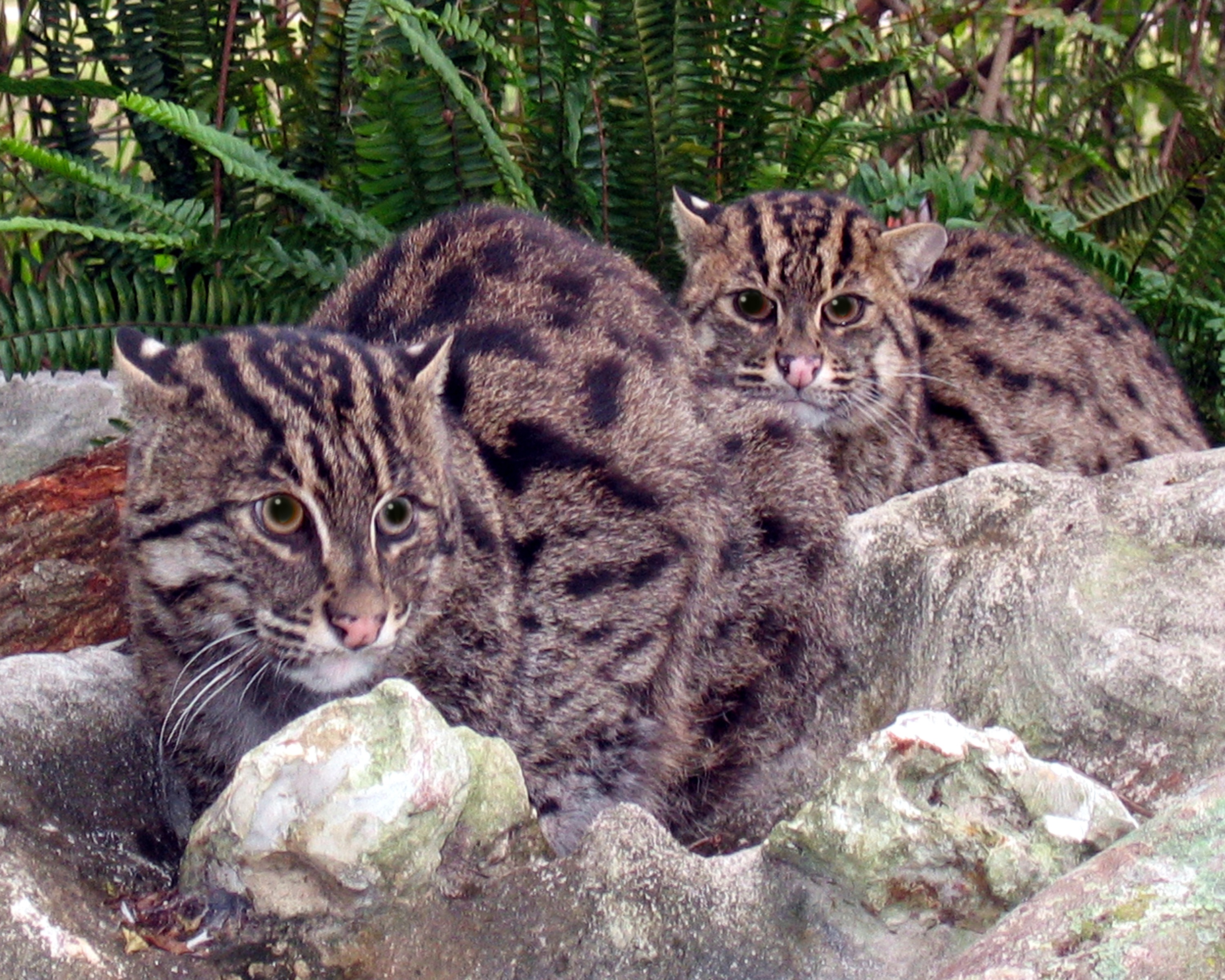Fishing Cat High Definition Wallpapers