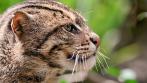 Fishing Cat High Quality Wallpapers