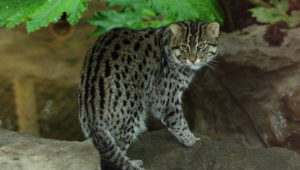 Fishing Cat Pictures