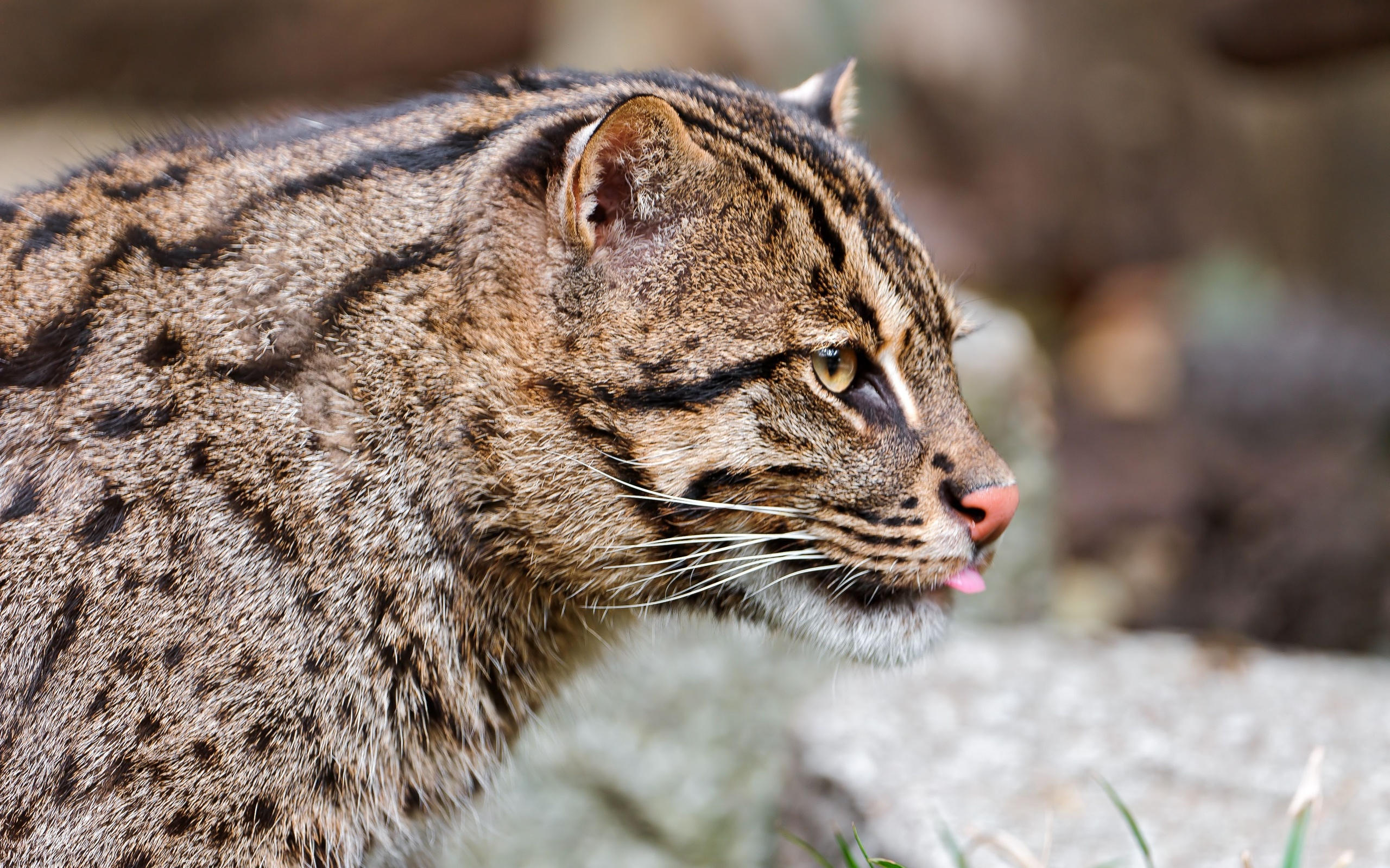 Fishing Cat Wallpapers Hd
