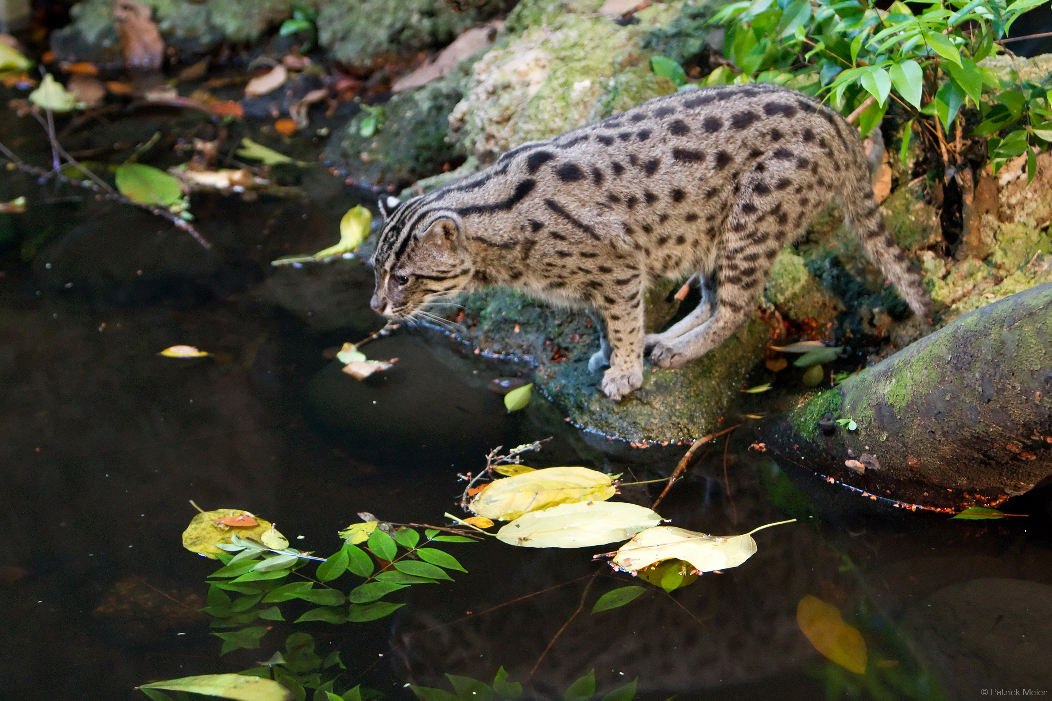 Fishing Cat Wallpapers