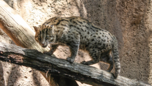 Fishing Cat For Desktop