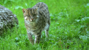 Fishing Cat Full Hd