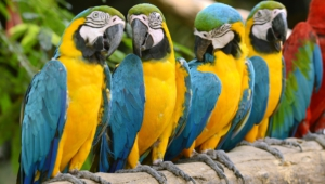 Macaw Wallpaper For Laptop