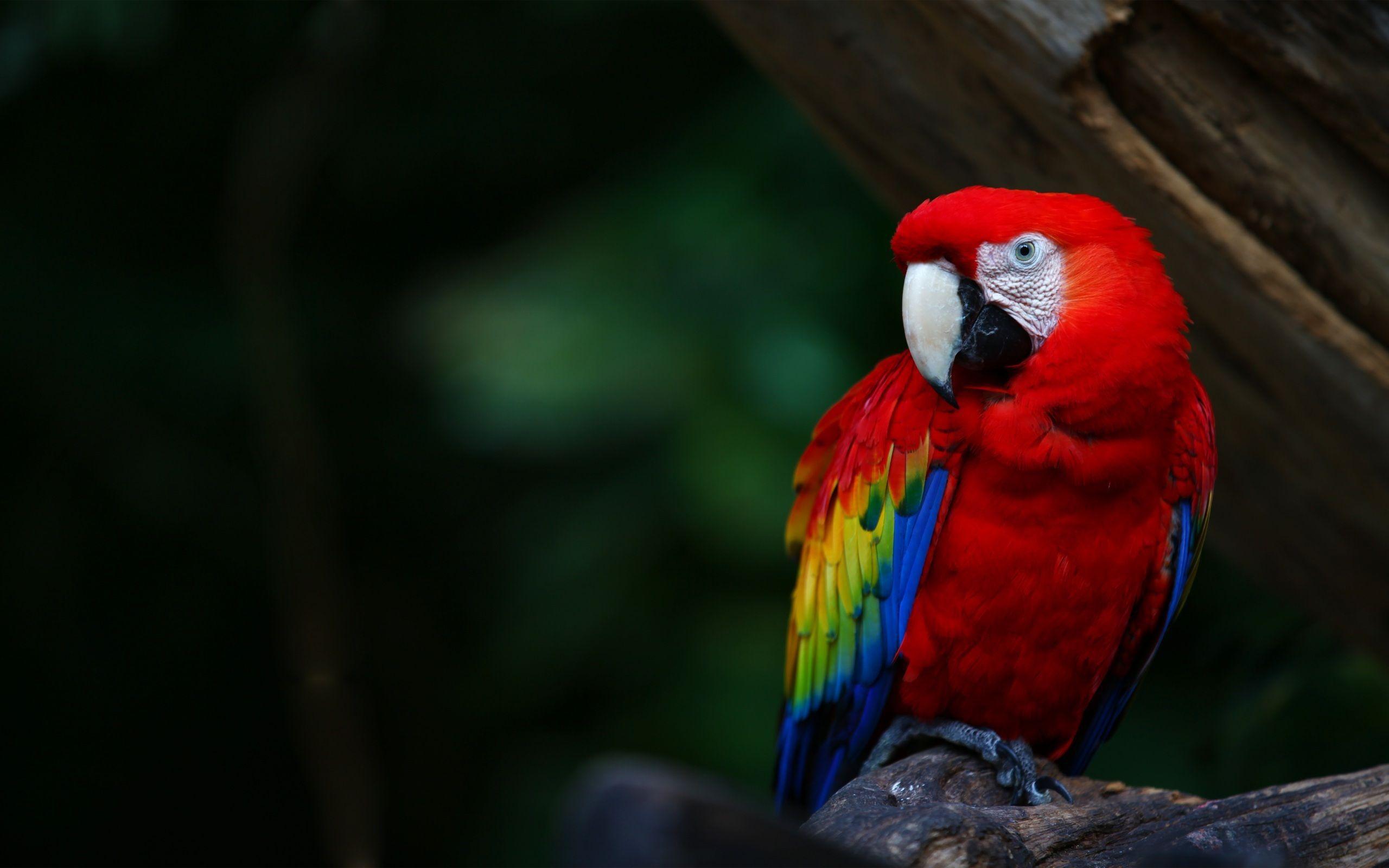 Macaw For Desktop Background