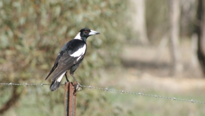 Magpie Photos