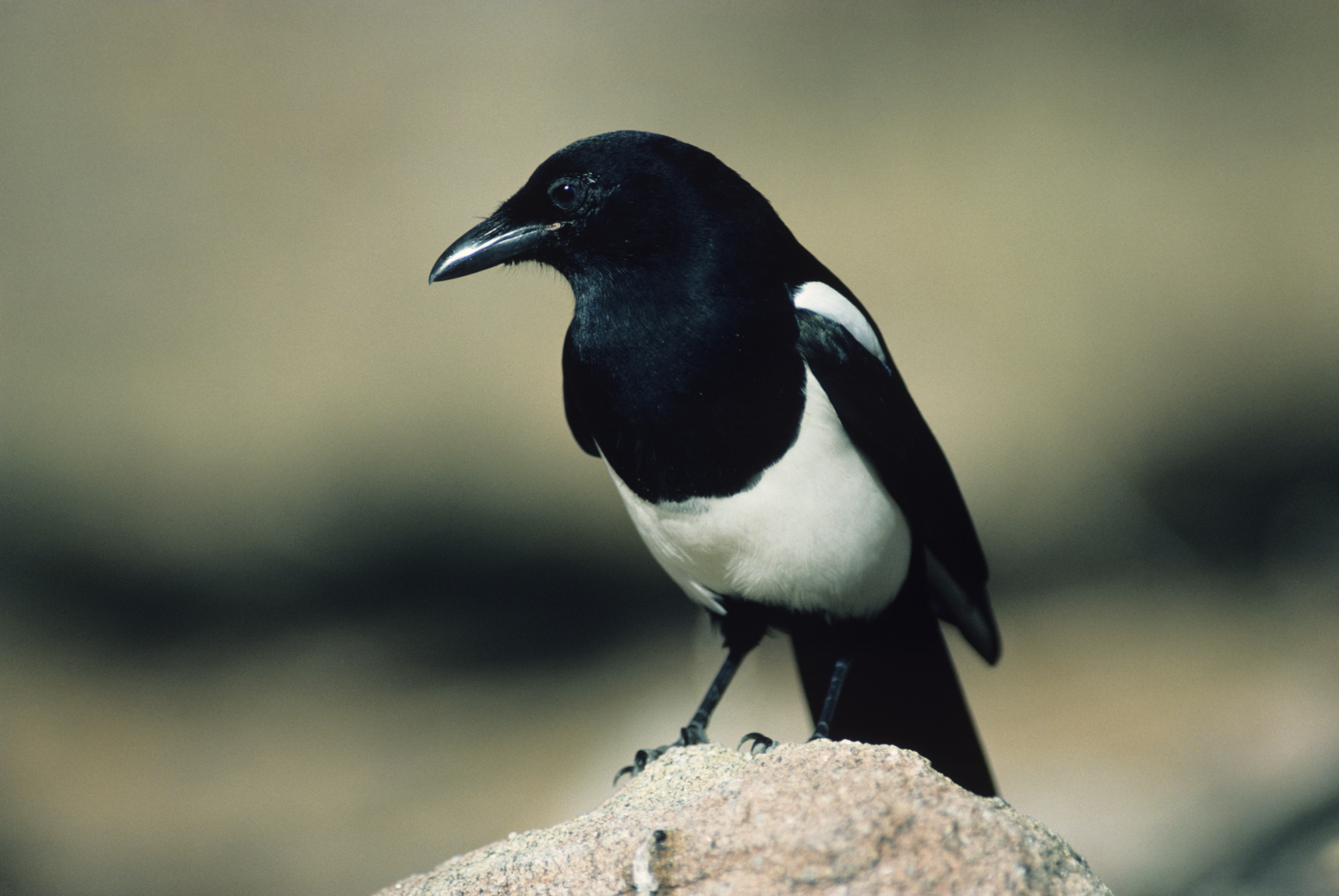 Magpie Wallpapers Hd
