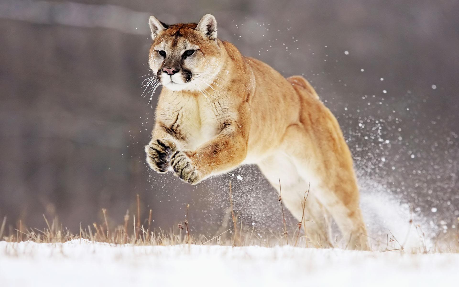Mountain Lion Background