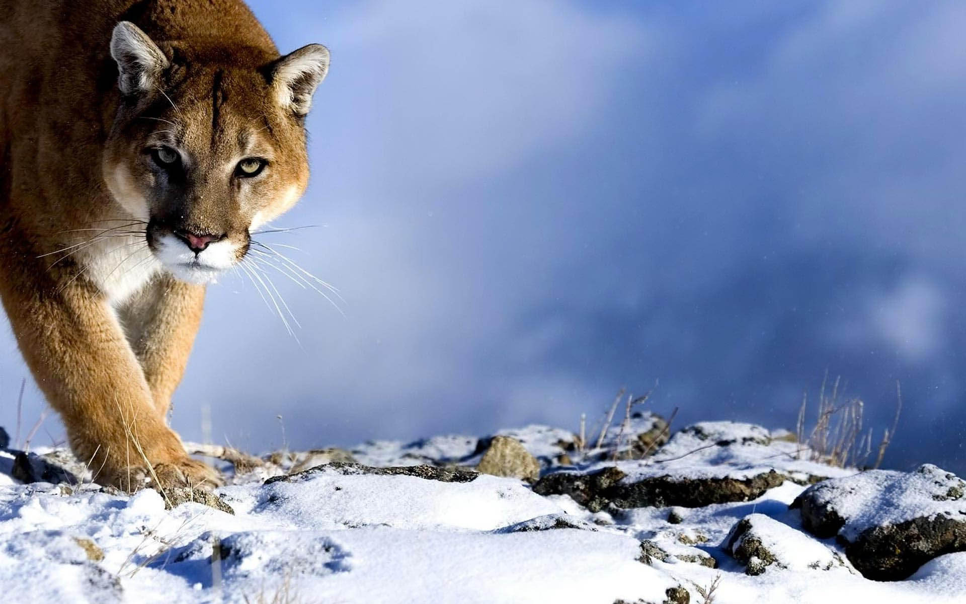 Mountain Lion Hd Background