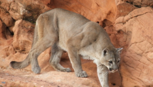 Mountain Lion Hd Wallpaper