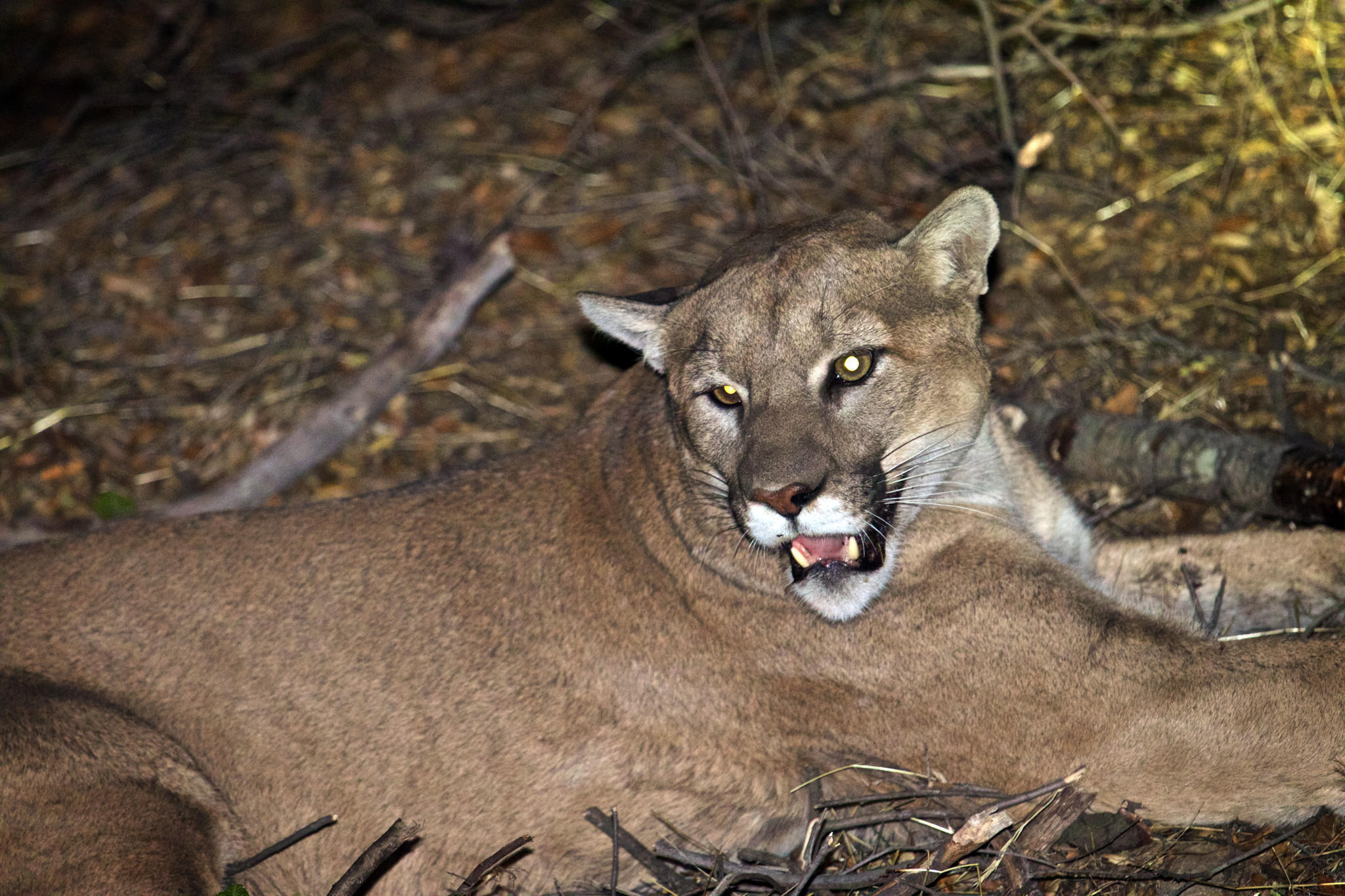 Mountain Lion High Definition Wallpapers