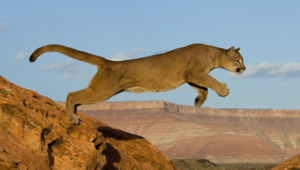 Mountain Lion High Quality Wallpapers