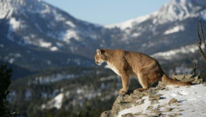 Mountain Lion Pictures