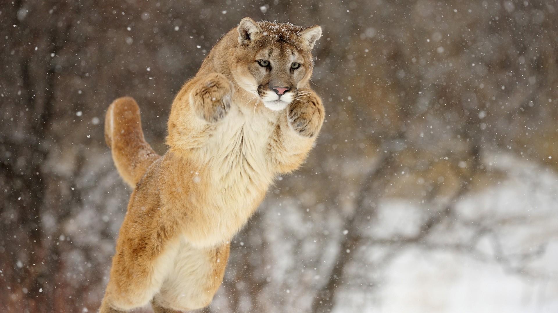Mountain Lion Widescreen