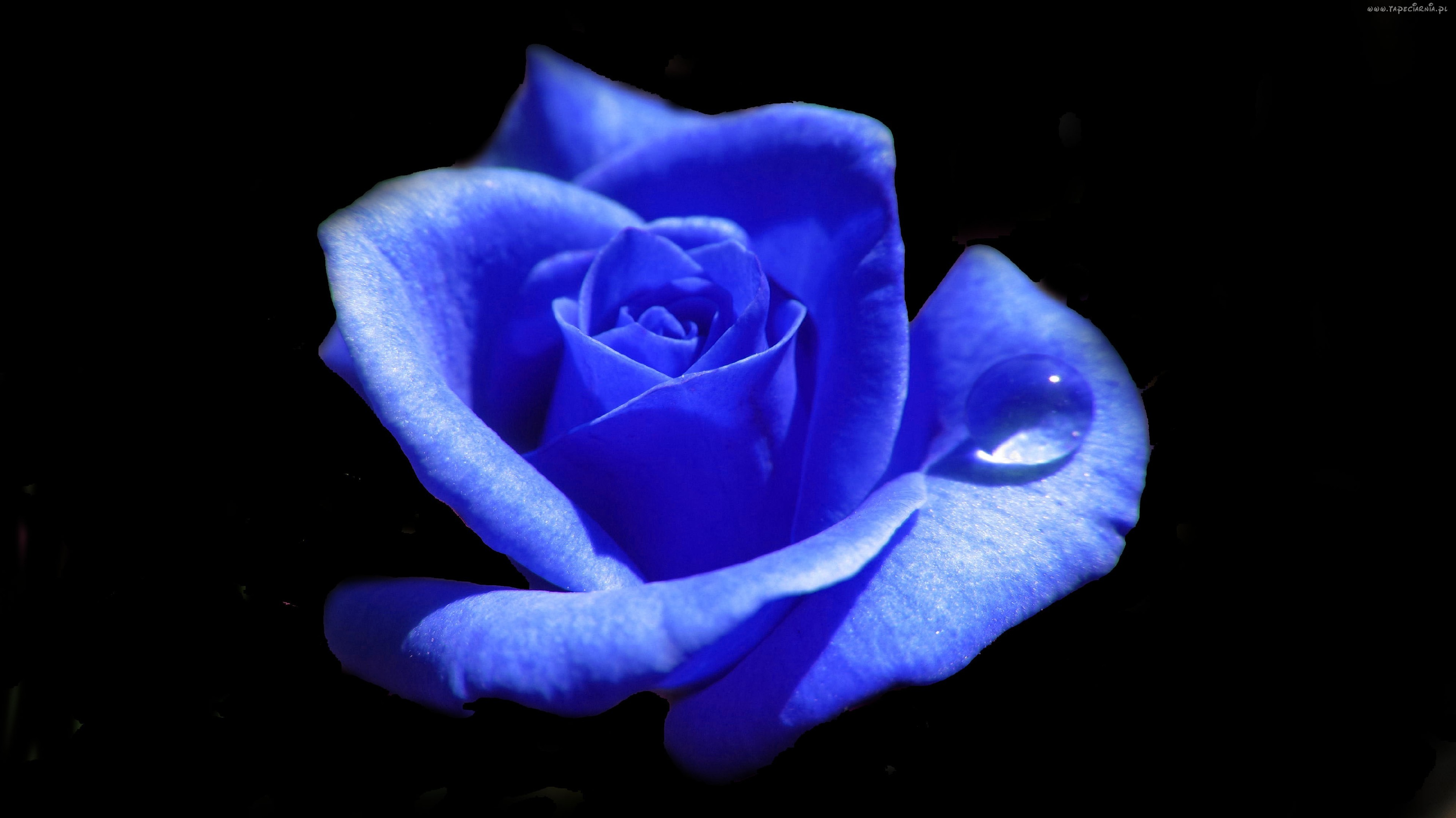 Pictures Of Blue Rose