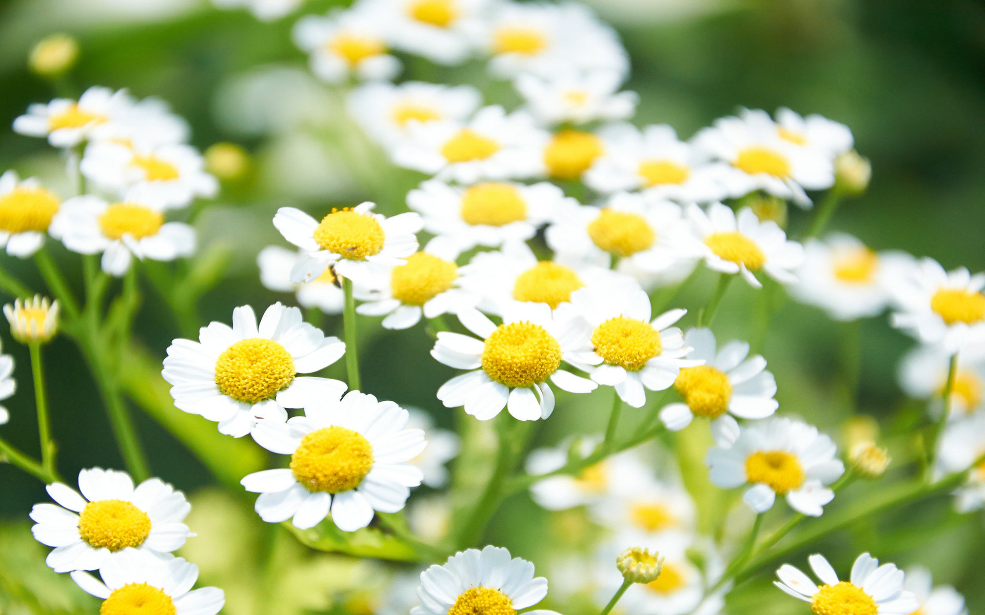 Pictures Of Chamomile