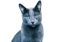Russian Blue Desktop Wallpaper