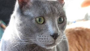 Russian Blue Hd Wallpaper