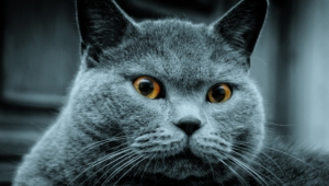 Russian Blue High Quality Wallpapers