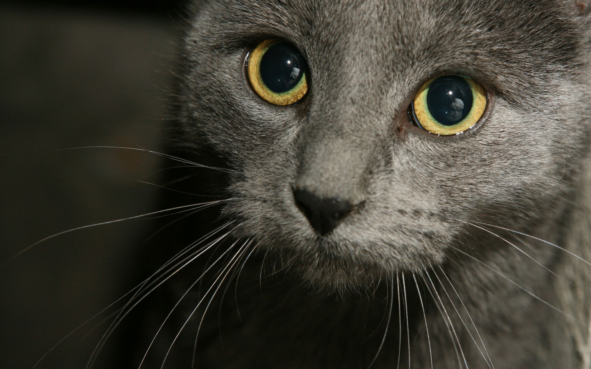 Russian Blue Photos