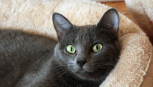 Russian Blue Pictures