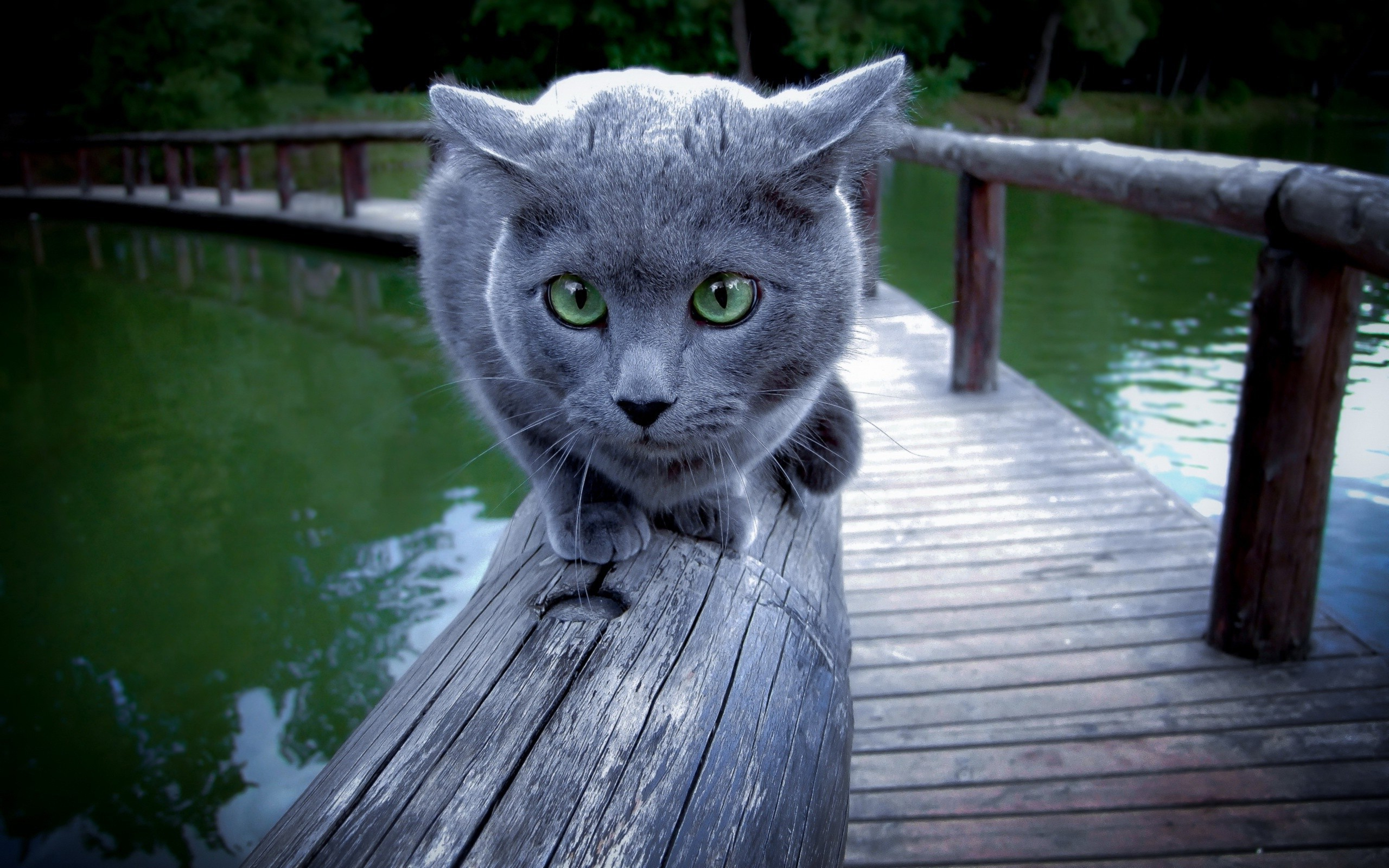 Russian Blue Wallpaper For Laptop