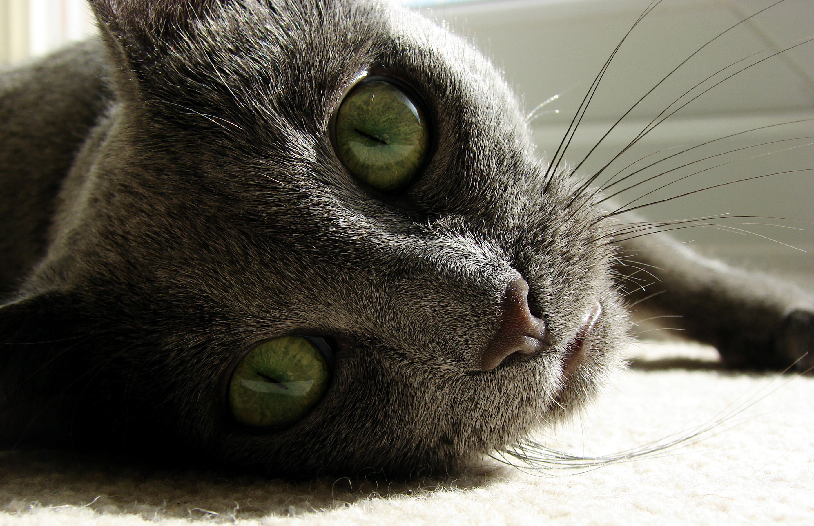Russian Blue Wallpapers And Backgrounds
