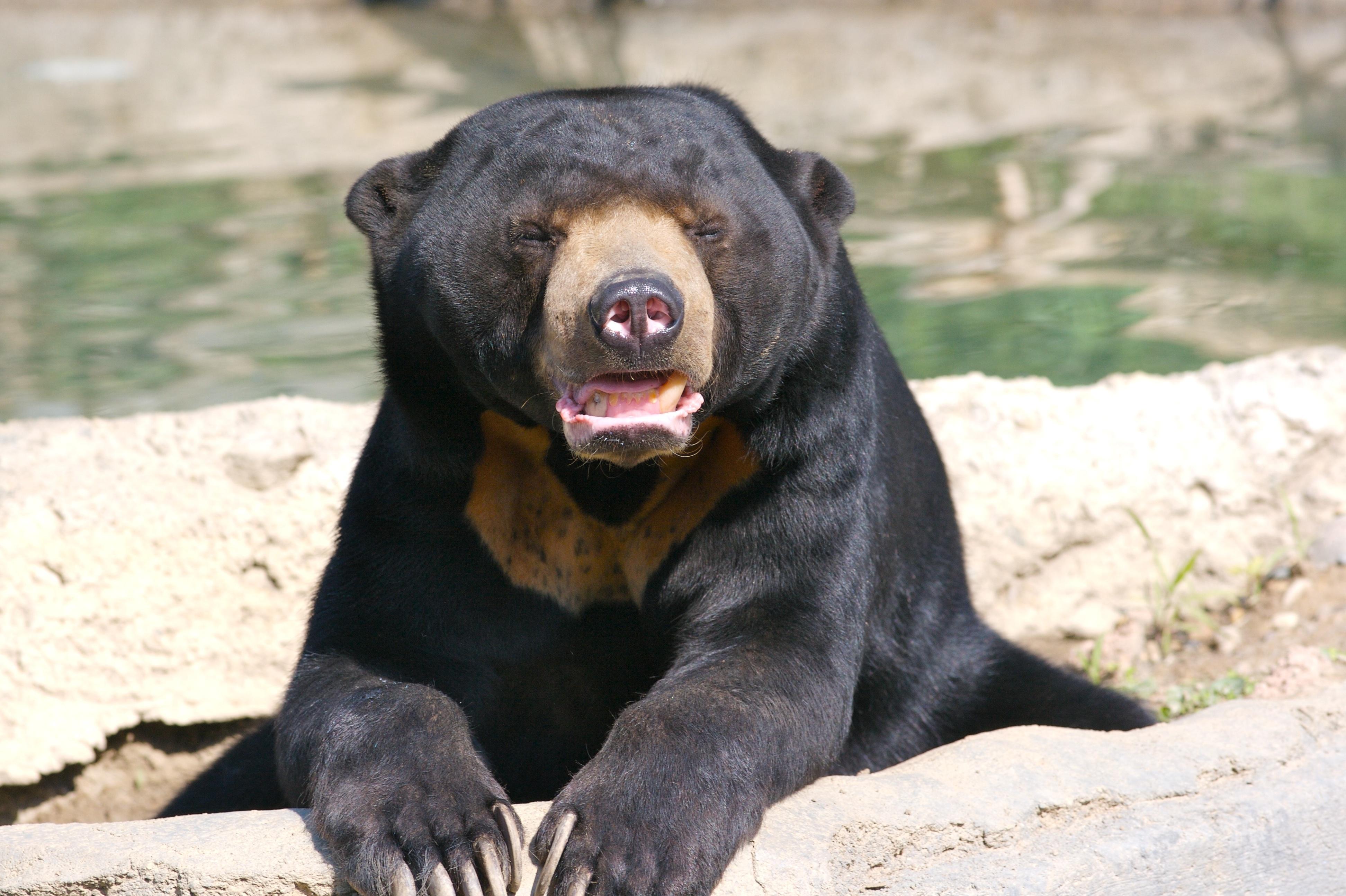 Sun Bear 4k