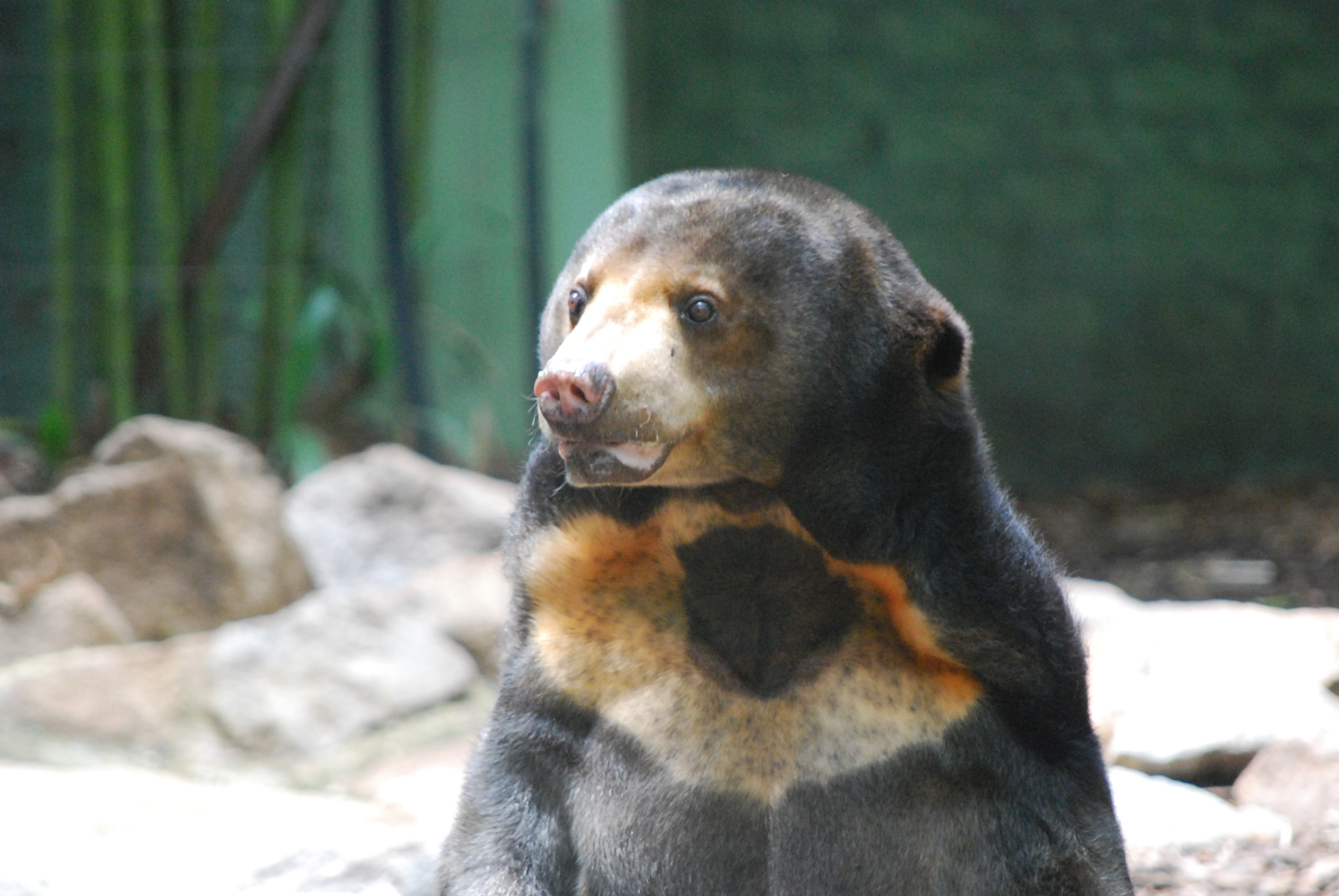Sun Bear Photos