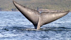 Blue Whale Hd Desktop