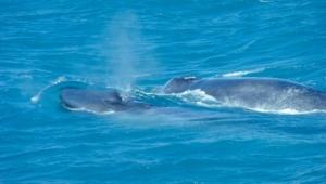 Blue Whale Hd Wallpaper