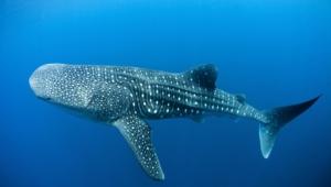 Blue Whale High Definition