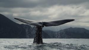 Blue Whale For Desktop